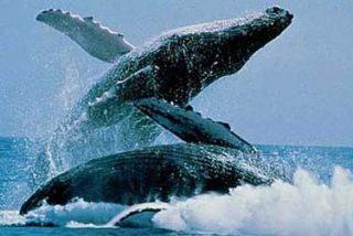 Europa cazará más ballenas que Japón