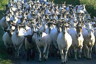 Y 400 cabras se murieron... ¡de sueño!