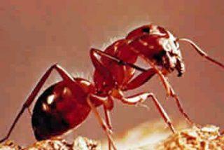 Las hormigas, ejemplo de agricultura sostenible