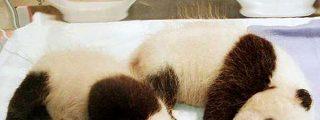 Los gemelos osos panda