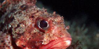 Proliferan los peces tóxicos