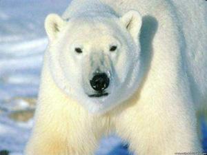 Muere la osa polar más anciana del mundo