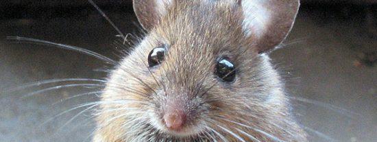 El hombre y el clima han modificado el tamaño de los ratones