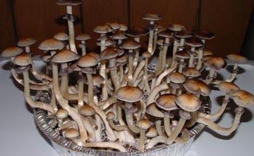 Holanda prohíbe la venta y producción de setas alucinógenas