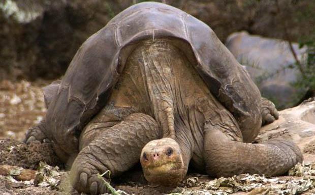 'El Solitario George' , la última tortuga gigante