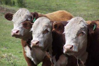 Argentina crea vacas transgénicas que permitirán producir un 20% más de leche