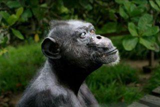 Muere Gregory, el chimpancé más viejo de África
