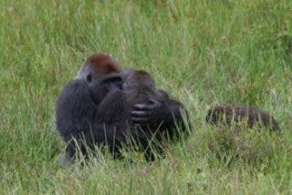 """""""Pillan"""" a unos gorilas copulando en la posición del misionero"""