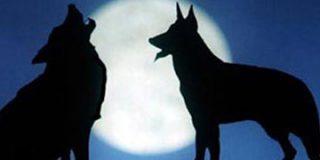 Los lobos atacan a sólo una hora de Madrid