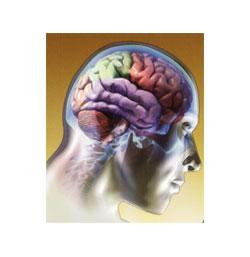 Hallada una proteína esencial para que persistan los recuerdos