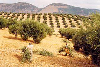 COAG ratifica que la cosecha de aceite de oliva no superará 1,2 millones de toneladas por sequía