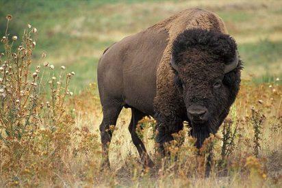 Brutal matanza de búfalos en Colorado