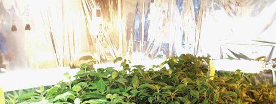 ¿Salvia por marihuana?