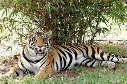 La población de tigres se ha reducido a la mitad en el último cuarto de siglo