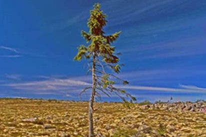 El árbol vivo más viejo del mundo