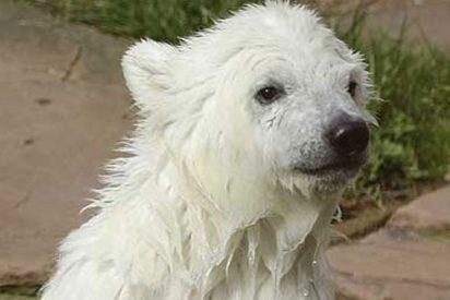Los ecologistas alertan que los osos polares encerrados hacen creer a la gente que el mundo está a salvo