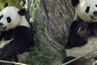 Crean la mayor reserva mundial de pandas en cautividad