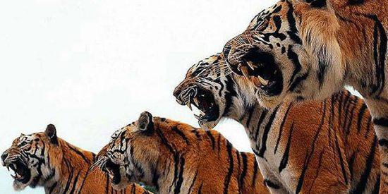 Los tigres en cautiverio guardan la pureza de su especie