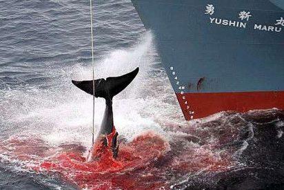 Islandia permitirá la caza de 300 ballenas durante los próximos cinco años