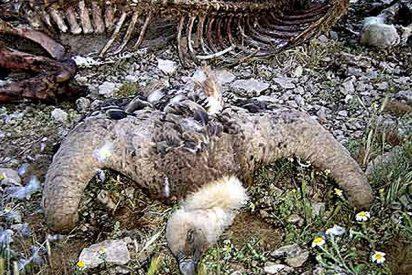 Hallan muertos nueve buitres leonados en una finca de Murcia