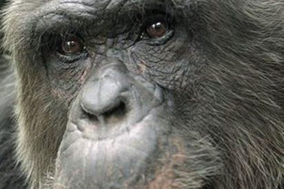 Quieren darle estatus de humano a chimpacé para salvar su vida