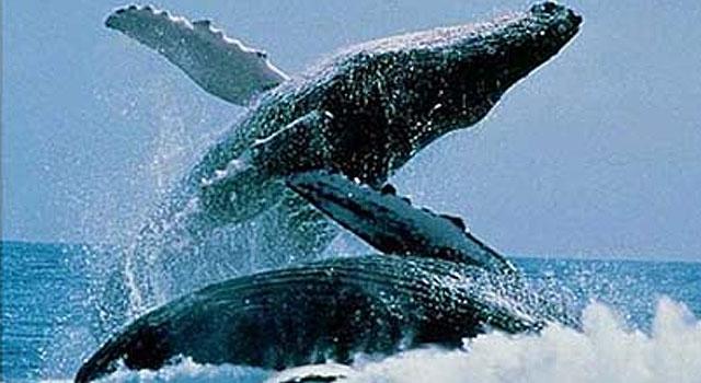 Un lugar seguro para las ballenas