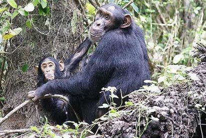 """Los chimpancé """"las matan callando"""""""
