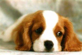 Una empresa anuncia la clonación de perros que 'huelen' el cáncer