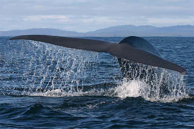 Rescatan a 48 pero mueren 130 de las 200 ballenas piloto varadas en Australia