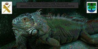 La Guardia Civil atrapa a una iguana de dos metros en una calle de Valladolid