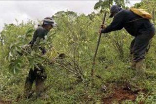 El Tribunal Constitucional rechaza una ordenanza que legalizaba la hoja de coca en Perú