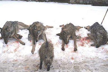 Los ecologistas critican la decisión del Castilla León de matar 100 lobos