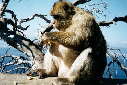 El mono que emigró a Huelva