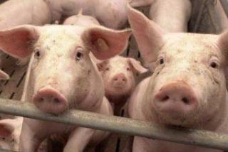 """Los """"cortellos"""" de Lugo en alerta por robo masivo de cerdos"""