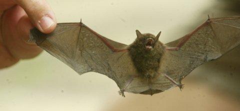 El sexo oral, una ventaja evolutiva en los murciélagos