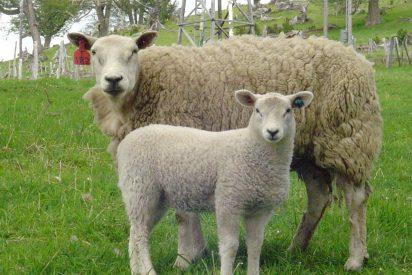 Los científicos buscan ovejas que eructen menos