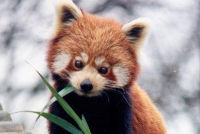 Nacen dos crías de panda rojo en el zoológico de Zagreb