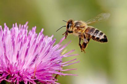 Las mentiras sobre la desaparición de las abejas
