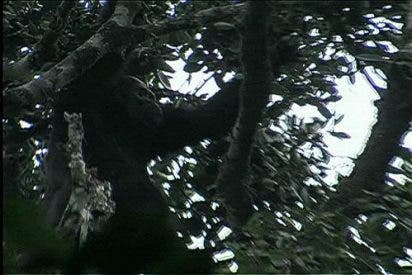 El gorila más raro del mundo, 'cazado' en vídeo