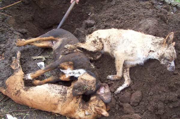 Localizan salchichas envenenadas, un perro y un cuervo muertos