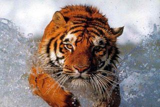 Las raíces del SIDA podrían encontrarse en un tigre de hace miles de años
