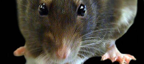 Colombia utilizaría ratas para desminar territorios