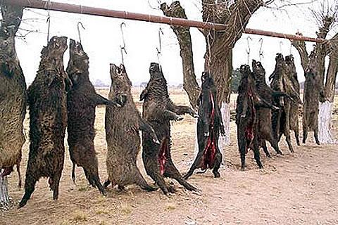 Caza ilegal de jabalíes en una de las monterías de Bermejo y Garzón