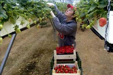 Huelva requiere 35.000 inmigrantes para sacar adelante las campañas agrícolas