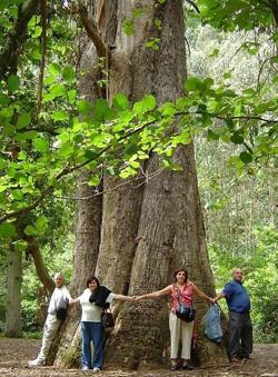 «O avó», el mayor árbol de España, continúa en pie