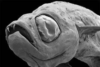 Descubierta una nueva especie: el diminuto pez 'Drácula', una carpa de 17 milímetros