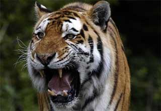 El tigre de un capo del narcotráfico siembra el pánico en Colombia