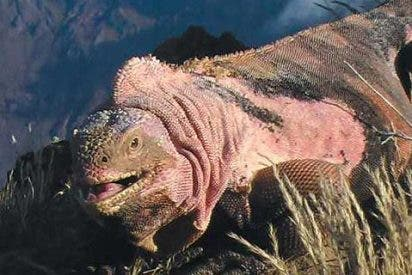 La iguana rosa de las Galápagos desconcierta a los científicos