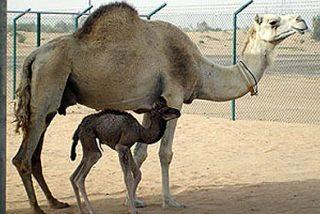 Tras 378 días de gestación, nace en Dubái el primer dromedario clonado del mundo