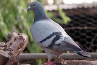 La policía colombiana descubre una paloma mensajera con una tarjeta de celular para un preso